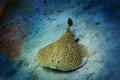 Zitterrochen auch Torpedorochen (Torpedinidae - Black spotted Torpedo Ray) Rotes Meer, �gypten